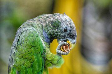 Papagei frisst aus der Kralle