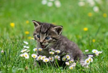 Katze auf dem Rasen zwischen Gänseblümchen