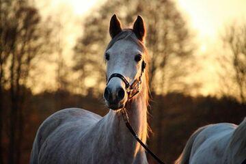 Pferd in der Dämmerung